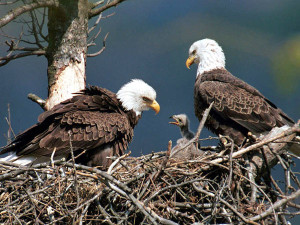 eagles_endangered_600